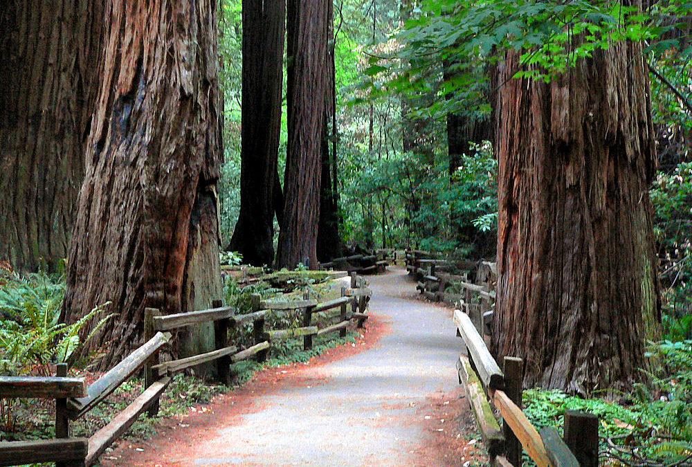 Les séquoias de la forêt Muir