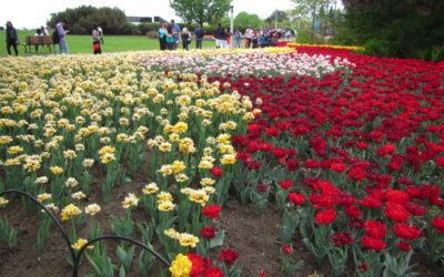 Festival des tulipes